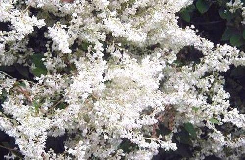 Portal Cool Polygonum aubertii oder Silber Spitze Rebe 15 Samen