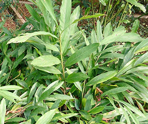 Grüner Kardamom Elettaria cardamomum Pflanze 25-30cm Malabar-Kardamom Zimt-Aroma