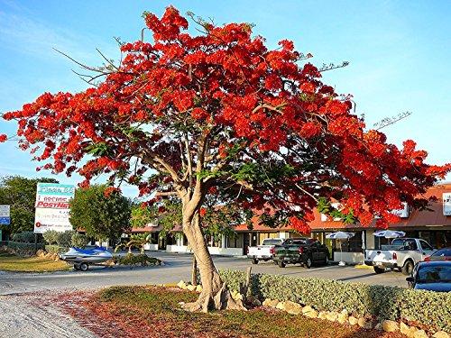 Flammenbaum, Delonix Regia, SELTENE rote PRACHTBLÜTE, exotische Pflanze, 5 Samen, SUPER !!