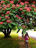 20pcs/Bag Albizia Julibrissin Tree Seeds(Mimosa/Persian Silk Tree) DIY Home Garden Seeds