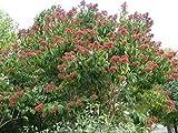 Sieben Söhne des Himmels Strauch, Heptacodium miconioides, 60-80cm, 3L Topf