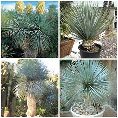 Portal Cool 10 Samen der Yucca Rigida, Sukkulenten, Kakteen, Sukkulenten Seed R