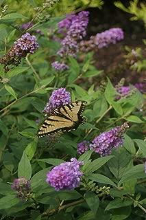 Lo & Behold Blue Chip Jr. Butterfly Bush - 4