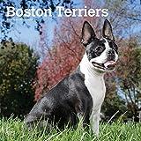 Boston Terriers 2020 - 16-Monatskalender mit freier DogDays-App: Original BrownTrout-Kalender [Mehrsprachig] [Kalender] (Wall-Kalender) - BrownTrout Publisher