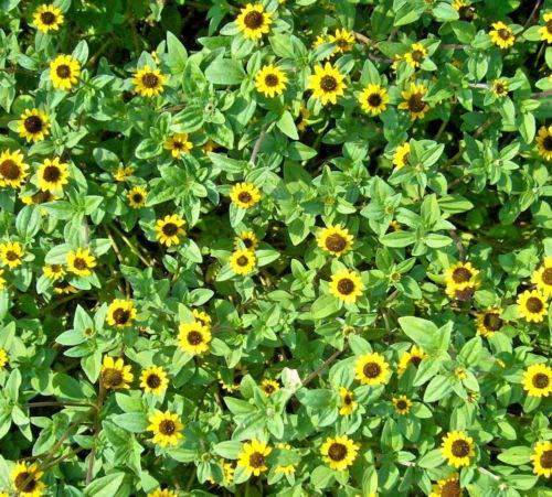 Husarenknopf Miniatursonnenblume Samen Saatgut Blumensamen für ca. 30 Pfl. Sommerblume niedrig