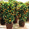30 Pcs Citrus reticulata Graines nain orange Bonsai Mandarine graines comestibles Agrumes sucrés arbres fruitiers pour jardin #2
