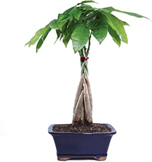 Brussel's Bonsai Live Money Indoor Bonsai Tree-4 Years Old 10