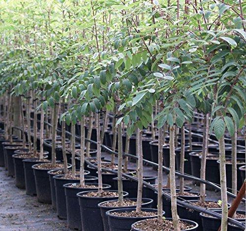 Müllers Grüner Garten Shop Eberesche Sorbus Edulis Wildobst leuchtend roten Früchte essbar Vogelnährgehölz 100-125 cm 5 Liter Topf