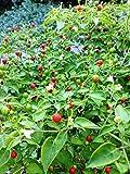 1356-Wild Chili Pepper Tepin pepper..15 seeds..rare..UPC0764425790341 ROBSRAREANDGIANTSEEDS