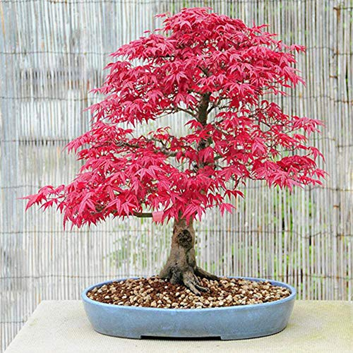 10Pcs Red Maple Seeds Perennial Autumn Leaf Dwarf Tree Easy to Planting for Home Garden Balcony Ornamental Indoors Outdoors Landscape