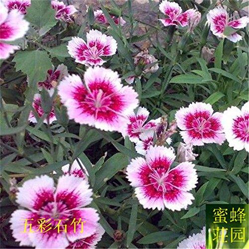 graines de carnation colorées graines de bambou brodé à bebaizhen bambou dix types de carnation américains environ 100 6