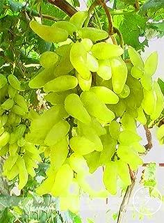 for Grape - Time-Limit!!100% Grape Organic Bonsai, 50 Pcs/Pack, Plant Delicious Fruit,#cfxgfb