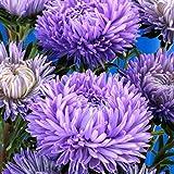 SummerRio Garten-100 Pcs Chrysantheme Selten Mehrjährig winterhart Stauden Gänseblümchensamen Mischung Bonsai Blumensamen Blumenmeer für Balkon