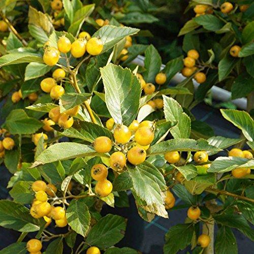 AZZERUOLO-CRATAEGUS AZAROLUS- GIALLO ROMAGNOLO - albero da frutto da esterno pianta vera