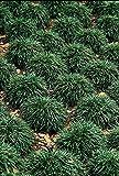 Dwarf Mondo Grass - 40 Live Plants - Shade Loving Evergreen Ground Cover