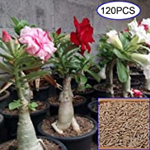 Mggsndi 120Pcs Mixed Adenium Desert Rose Flower Seeds Perennials Garden Balcony Decor - Heirloom Non GMO - Seeds for Planting an Indoor and Outdoor Garden 120Pcs Desert Rose Seeds