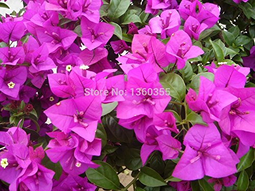 10pcs Mix-color 'Bougainvillea spectabilis Willd