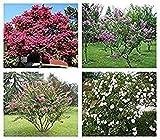 100 semillas / bolsa rara flor chinos Crespón Myrtle Lagerstroemia semillas de flor de las semillas de árboles bonsai indica Crespón de semillas de árboles de arrayán