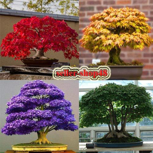 Portal Cool Arce rojo: Las semillas de arce japonés Bonsai árbol, rojo, amarillo, verde, púrpura, azul, para el jardín
