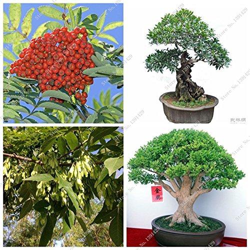 Japan Zierpflanze Ash Laubbaum-Samen Perennial Baum Fraxinus Chinensis Seed-Hausgarten Bonsai Bai La Shu Seed 10 Stück