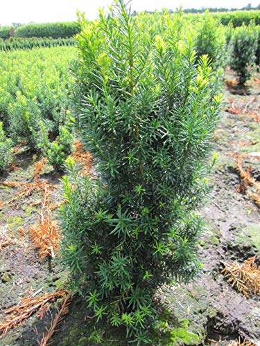 Taxus media Hicksii - Fruchtende...