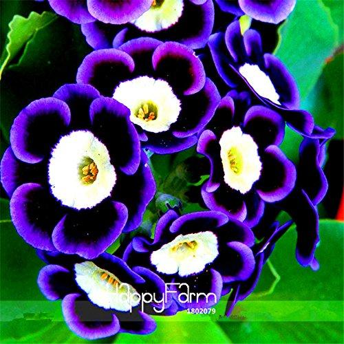 Nouvelles Graines 2015! Mariandl Superbe Tricolor Petunia annuelles Graines Bonsai fleurs d'intérieur, 100 Pcs / Sac, fleurs rares, # EJZWKL