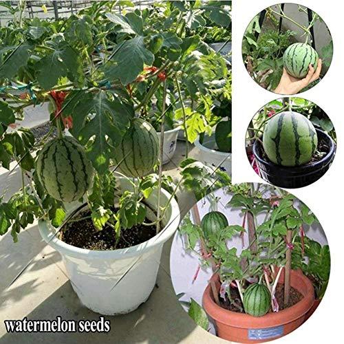 Mini Wassermelone Samen, KimcHisxXv 20 St¨¹cke Samen S¨¹?e Bio Obst Garten Hof Bauernhof Bonsai Pflanze - Mini Wassermelone Samen