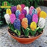 100 piezas / bolsa de semillas de jacinto Semillas Bonnsai de flores (no bulbo del jacinto) Flor hidropónica tan fragante que faltan para siempre al aire libre de plantas Mix Colors