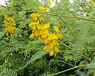 Best sesbania sesban plant Reviews