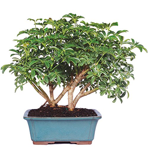 Brussel's Live Hawaiian Umbrella Indoor Bonsai Tree - 8 Years Old; 10' to 14' Tall in Decorative Container