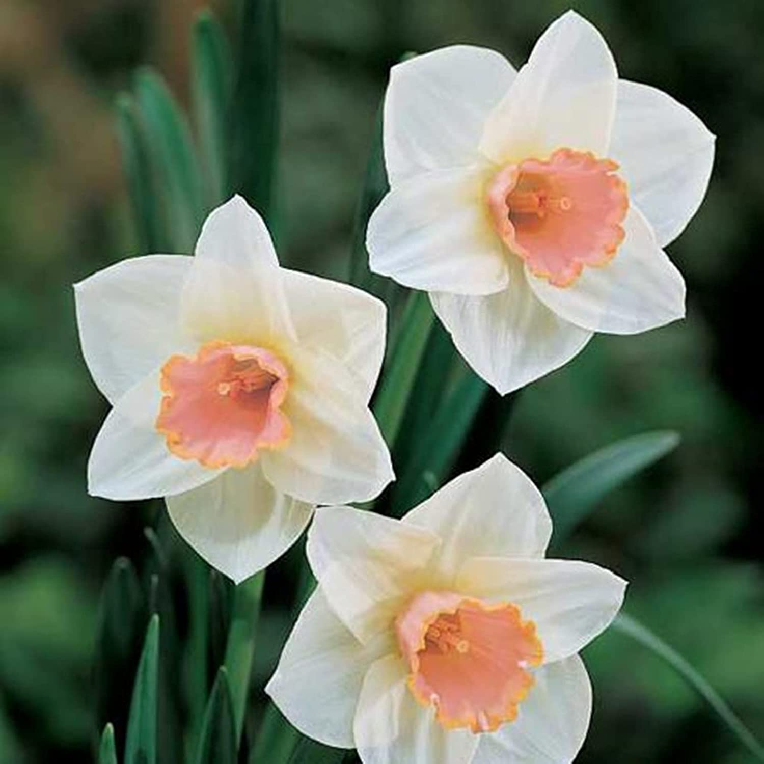 Attractive Flowers Surprise Gift 55% OFF NEW before selling Daffodil Bulbs T One The top of