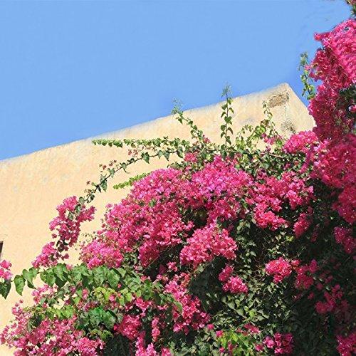 TENGGO Egrow 100Pcs Garten Bougainvillea Glabra Choisy Samen Klettern Garten Blume Samen