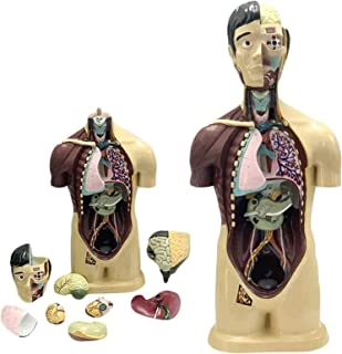 Menselijke 9 delen Halflichaam met interne organen Torso Anatomy Model - voor educatieve training Orgelmodel