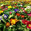 Primula, semi primaverili inglesi mix - Primula acaulis - 140 semi - 140 semi #5