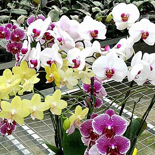 100 Pcs Rare Orchid Seed Bonsai Balcon Orchidée papillon fleur d'ornement Graines beau jardin Phalaenopsis Orchidées Graines