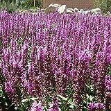 Fnho Semillas de macetas de Flores,Perenne Resistente Semillas,Flor de ratwood, Paisaje Floral frío-Polvo_200 Grano