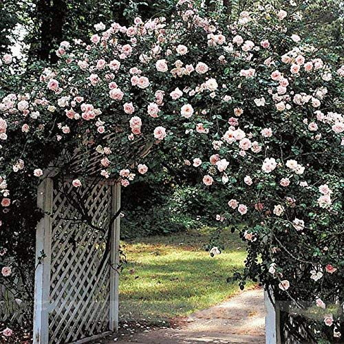 New Dawn Weiß Rosa Kletterrose Pflanze...