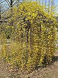 ASTONISH Pacchetto semi: Forsythia suspensa Piangendo forsizia Gialli Seeds!