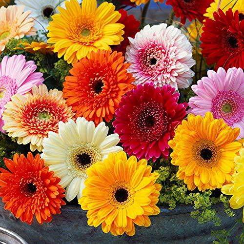 Gerbera Daisy Flower Mix Samen 10 Stück (Gerbera jamesonii) Daisy Erbstück Premium Staude Einfach zu züchtende Pflanzen Samen zum Pflanzen Garten Outdoor Indoor