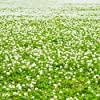 Outsidepride White Dutch Clover Seed: Nitro-Coated, Inoculated - 5 LBS #3
