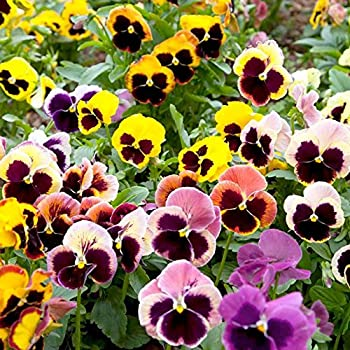 Creative Farmer Hybrid Pansy Mixed Flower Seeds Amazon In Garden Outdoors