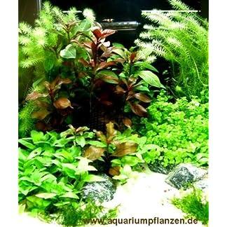 Mühlan - 4 getopfte Wasserpflanzen + 5 Mookugeln + 4 Bund Aquarienpflanzen + Dünger schnellwachsende, Pflegeleichte, algenhemmende Aquarienpflanzen
