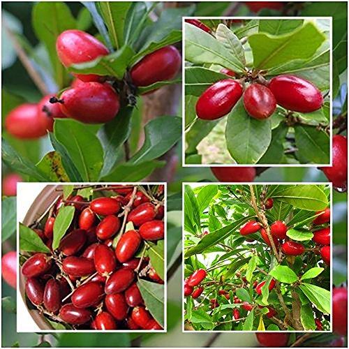 Zhouba Synsepalum Dulcificum Samen für Gartenpflanzen, 20 Stück, seltene Wunderfrucht, Synsepalum, Dulcificum Samen für Garten und Außenbereich