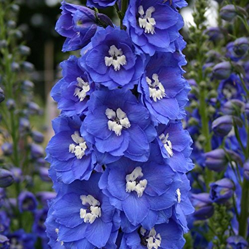 Delphinium - Rittersporn-dunkelblau - Magic Fountain - kleine Sorte - 15 Samen
