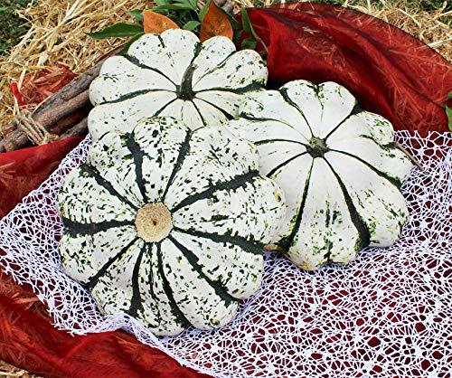 Bobby-Seeds Kürbissamen Patisson vert-blanc Portion