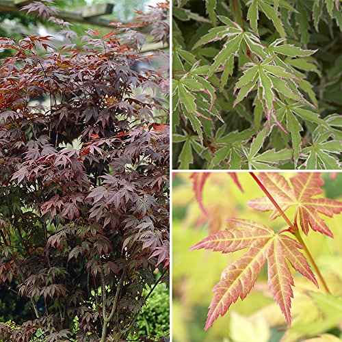 Acer Japanese Maple Collection 3 Plants in 3 Colours 20cm Tall