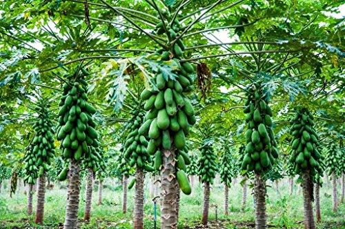 Promotion 20pcs / bag Wonderful Sweet Papaya Seed Kakdam Tropical Subtropical Subarctic Graines de fruits Flower Seeds