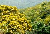 Asklepios-seeds® - 50 Semi di Acacia confusa, acacia petit feuille, piccola acacia delle Filippine, Formosa acacia (Taiwan acacia) o koa di Formosa