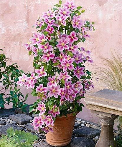 GETSO 1 PC/Tasche Clematis Birnen Bonsai sementes' Indoor Blumen Klematis Spalier Clematis Pflanzen Live-Blumen-Flor: 1