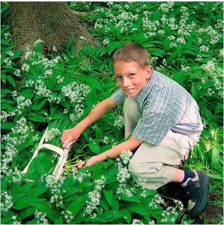 Tomasa Samenhaus- Bärlauch-Pflanzen, leckerste Bodendecker, Kräuter Pflanzen Samen winterhart mehrjährig BIO- Samen Kräuter Saatgut Garten Bärlauch